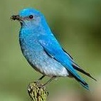 Picture of Mountain Bluebird