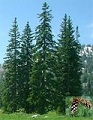 Picture of Western White Pine tree