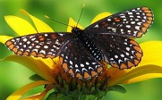 Picture of Baltimore Checkerspot Butterfly