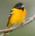 Picture of Mockingbird